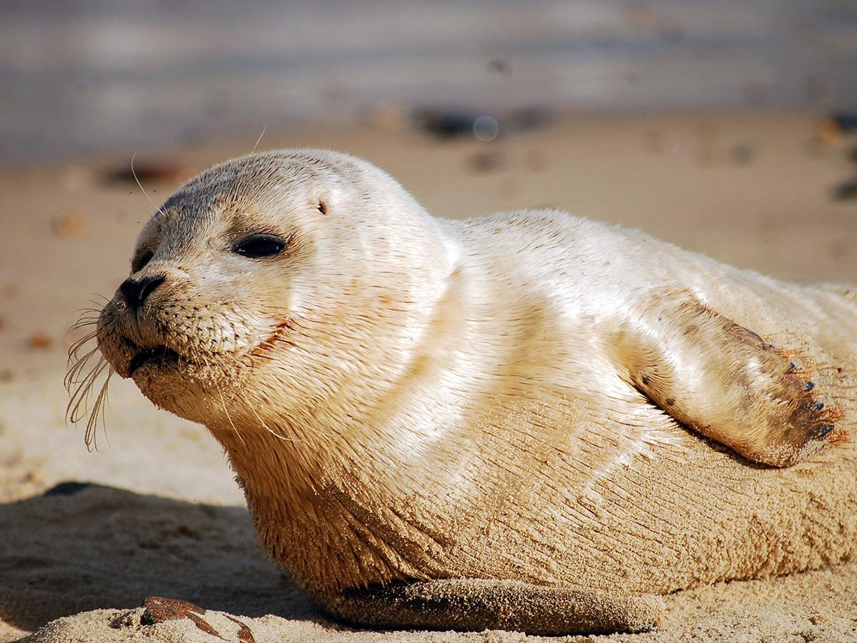 Norfolk seal colony near Hales Hall